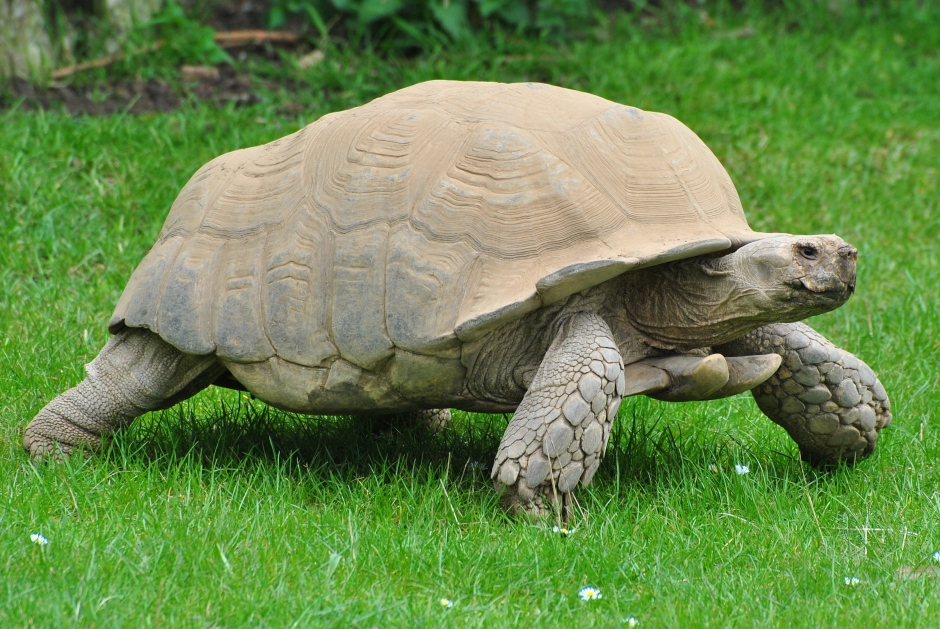 sulcata_tortoise